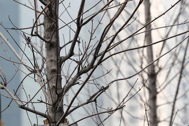 Hàng cây phong lá đỏ thay lá, ngả màu sang đen giữa phố Hà Nội - 5