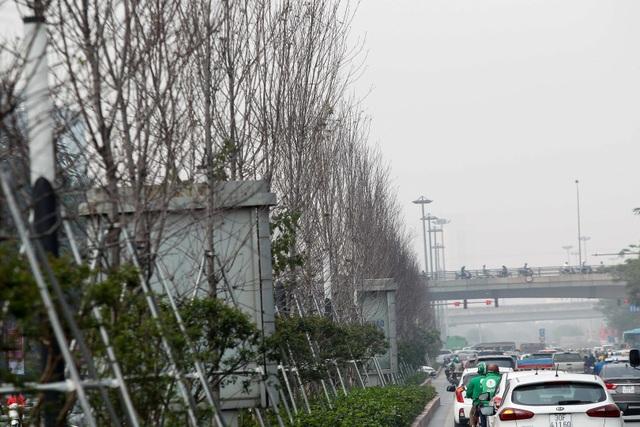 Hàng cây phong lá đỏ thay lá, ngả màu sang đen giữa phố Hà Nội - 3