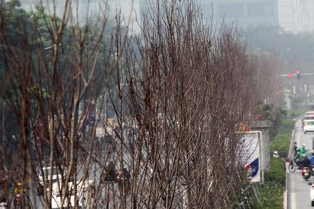 Hàng cây phong lá đỏ thay lá, ngả màu sang đen giữa phố Hà Nội - 9
