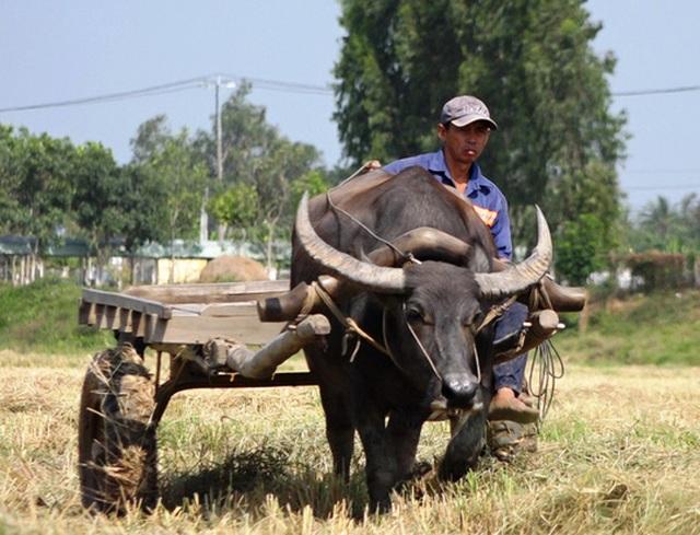 Trâu kéo lúa ở miền Tây giữ lại nét văn hóa nông nghiệp Nam bộ - 1