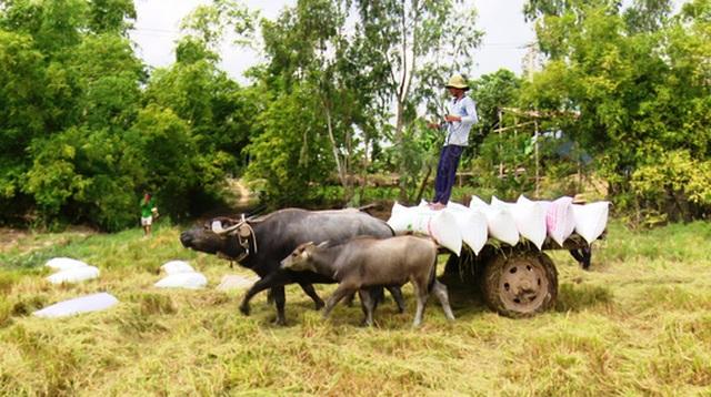 Trâu kéo lúa ở miền Tây giữ lại nét văn hóa nông nghiệp Nam bộ - 2