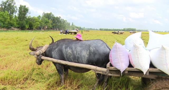 Trâu kéo lúa ở miền Tây giữ lại nét văn hóa nông nghiệp Nam bộ - 3
