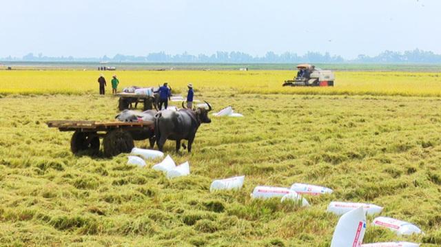 Trâu kéo lúa ở miền Tây giữ lại nét văn hóa nông nghiệp Nam bộ - 4