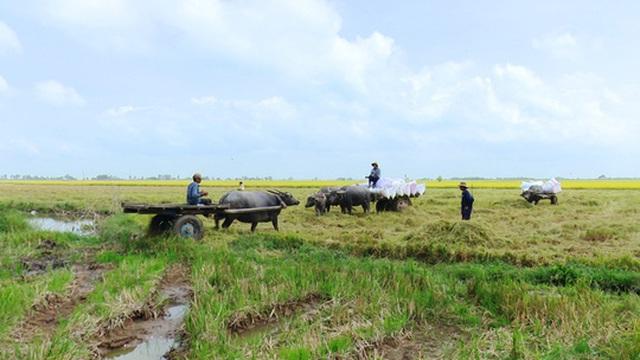 Trâu kéo lúa ở miền Tây giữ lại nét văn hóa nông nghiệp Nam bộ - 5