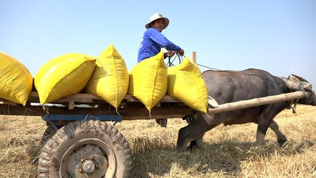 Trâu kéo lúa ở miền Tây giữ lại nét văn hóa nông nghiệp Nam bộ - 6