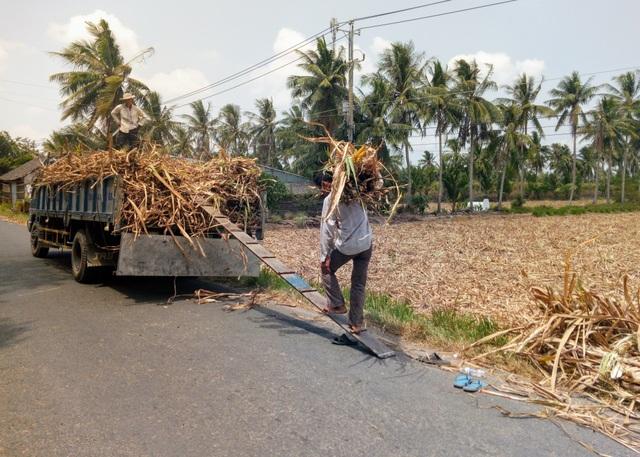 Thảm cảnh người trồng mía: Đầu tư 7 triệu, bán được… 3 triệu - 1