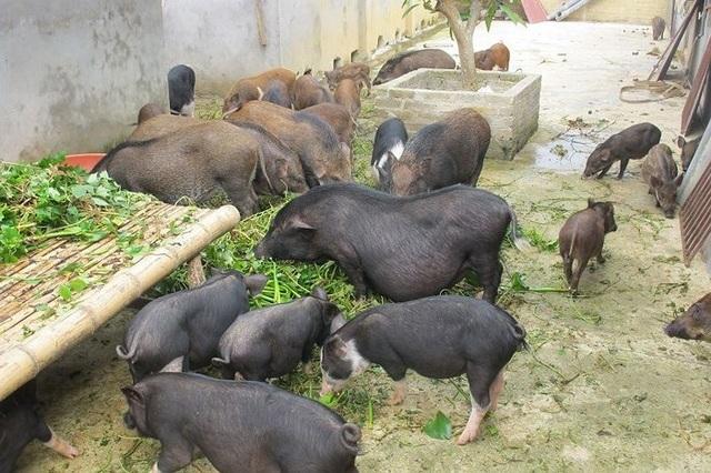 Cục Chăn nuôi: Bèo tây, thân chuối vẫn là thức ăn chăn nuôi truyền thống - 2