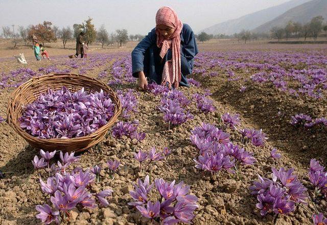 """Saffron Nhụy hoa nghệ tây - Thứ gia vị được ví như """"vàng đỏ"""" - 1"""