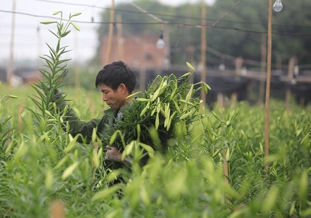 Mùa hoa loa kèn đến sớm ở Hà Nội - 7