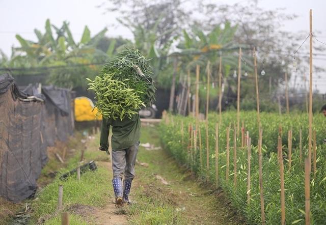Mùa hoa loa kèn đến sớm ở Hà Nội - 9
