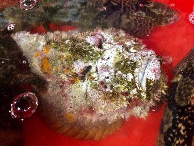 Quảng Ngãi: Hiếm thấy cá mặt quỷ khủng nặng hơn 3,5 kg như thế này - 1