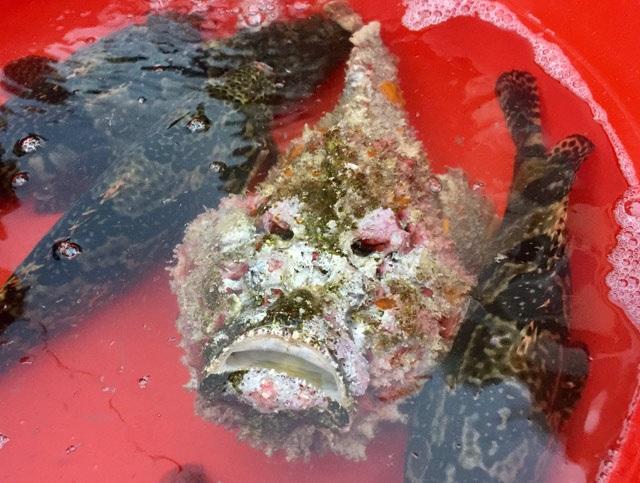 Quảng Ngãi: Hiếm thấy cá mặt quỷ khủng nặng hơn 3,5 kg như thế này - 9
