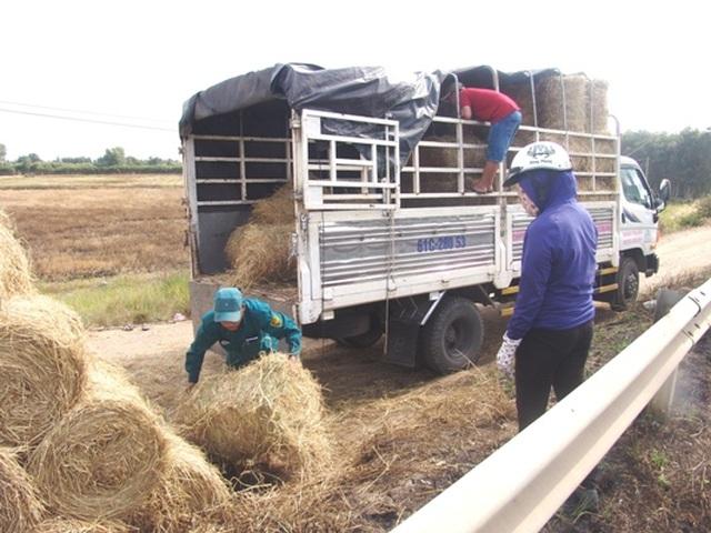 """Rơm """"đắt xắt ra miếng"""", nông dân thu tiền triệu mỗi ngày - 4"""