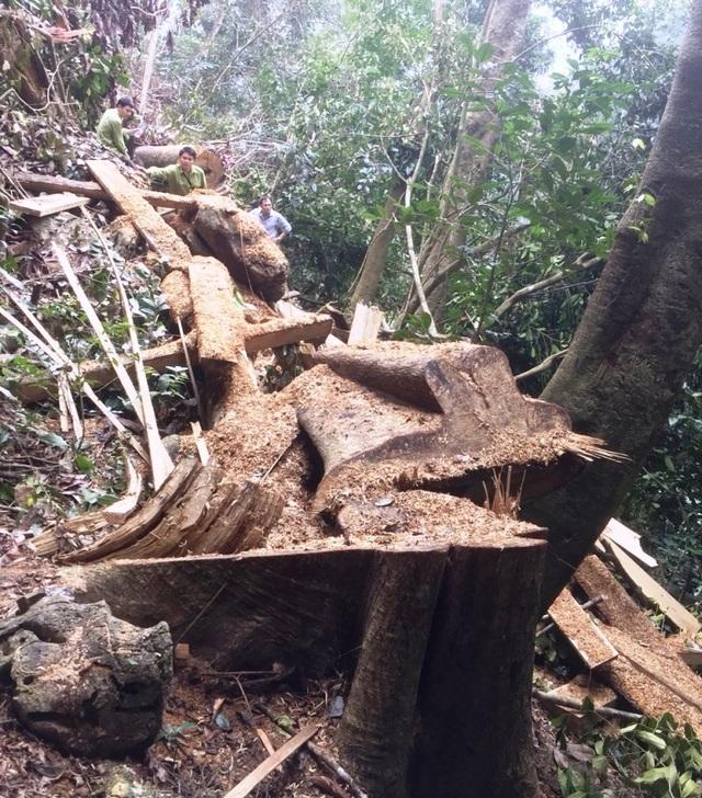 """Rừng bị tàn phá nghiêm trọng, kiểm lâm """"loay hoay"""" tìm thủ phạm - 3"""