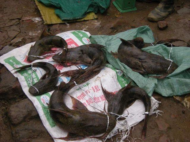 Tứ độc đặc sản cá cực hiếm ở miền núi, có tiền cũng khó mua - 1