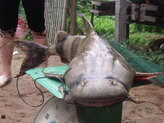 Tứ độc đặc sản cá cực hiếm ở miền núi, có tiền cũng khó mua - 6