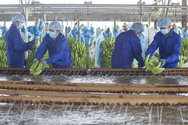 Chuối được trồng theo công nghệ của Isael, đảm bảo canh tác sạch và bền vững.