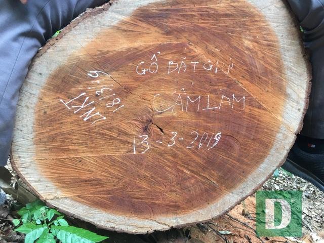 Cận cảnh rừng gỗ lim bị chặt phá tan hoang vừa phát hiện  - 11