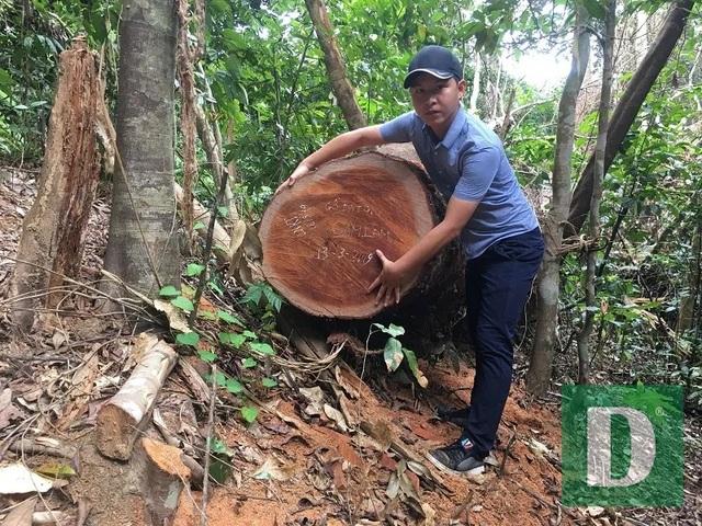 Cận cảnh rừng gỗ lim bị chặt phá tan hoang vừa phát hiện  - 10
