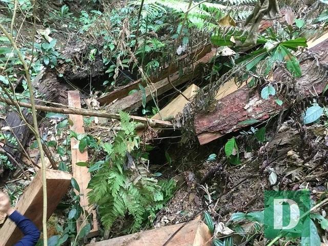 Cận cảnh rừng gỗ lim bị chặt phá tan hoang vừa phát hiện  - 13