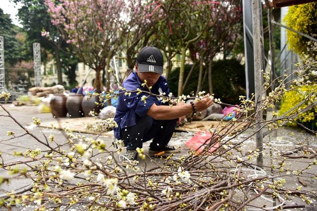Hoa anh đào Nhật Bản khoe sắc giữa lòng Hà Nội - 8