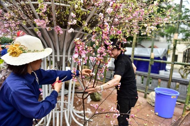 Hoa anh đào Nhật Bản khoe sắc giữa lòng Hà Nội - 11