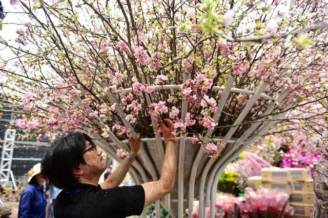 Hoa anh đào Nhật Bản khoe sắc giữa lòng Hà Nội - 7