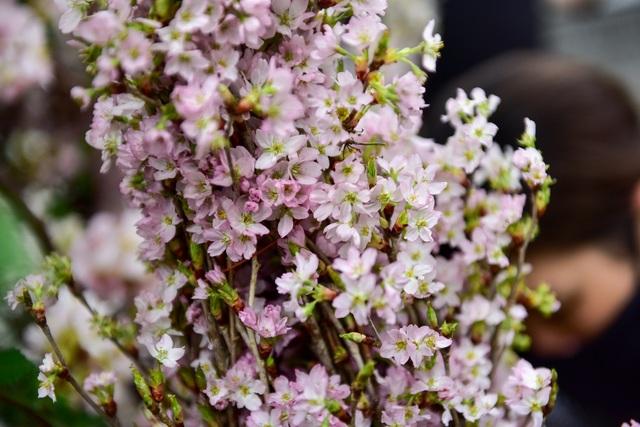 Hoa anh đào Nhật Bản khoe sắc giữa lòng Hà Nội - 14
