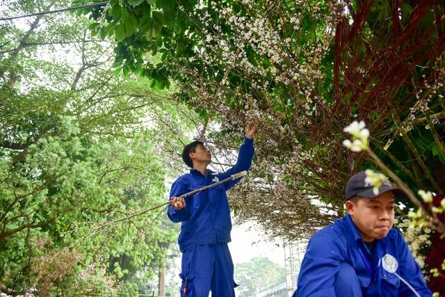 Hoa anh đào Nhật Bản khoe sắc giữa lòng Hà Nội - 5