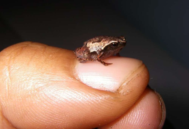 Phát hiện 3 chi ếch tí hon mới ở Madagascar  - 2