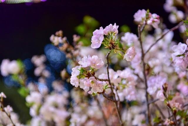 Hàng ngàn cành hoa anh đào khoe sắc bên hồ Hoàn Kiếm - 12