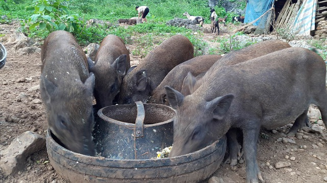 The government asked to abolish the rule that pigs should not eat bananas - 1