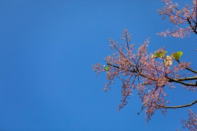 Hoa ngô đồng đẹp ngỡ ngàng trong Đại Nội Huế - 15