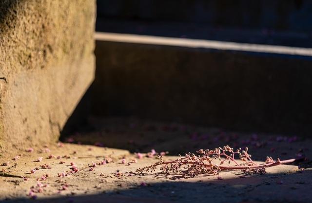 Hoa ngô đồng đẹp ngỡ ngàng trong Đại Nội Huế - 12