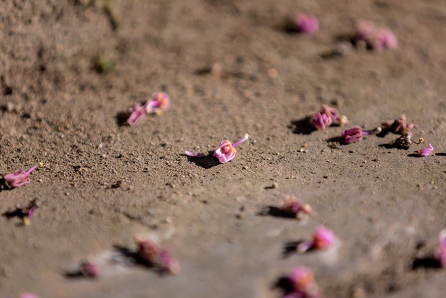 Hoa ngô đồng đẹp ngỡ ngàng trong Đại Nội Huế - 13