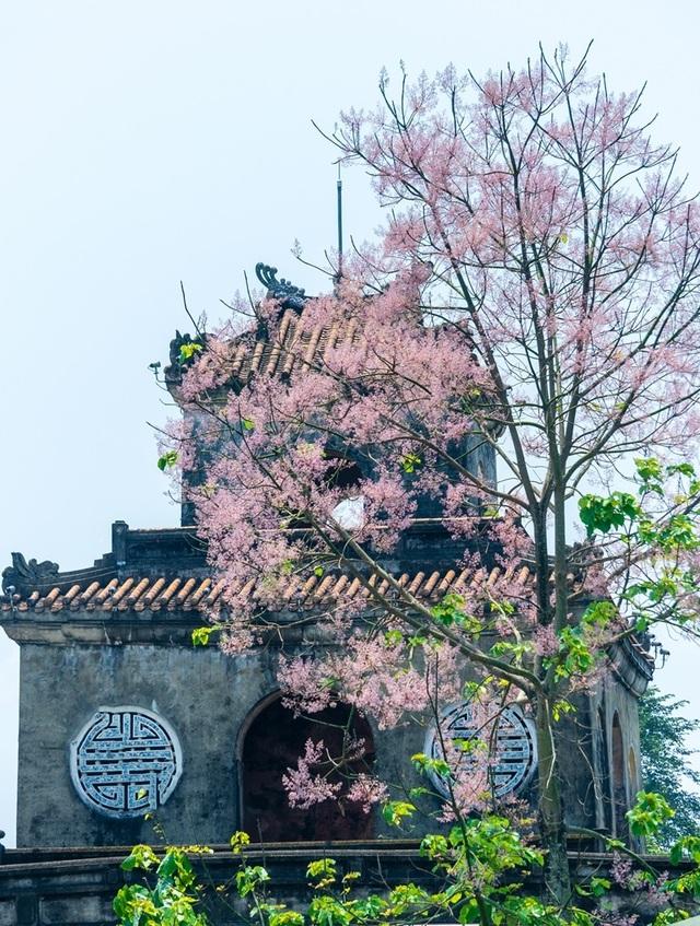 Hoa ngô đồng đẹp ngỡ ngàng trong Đại Nội Huế - 3