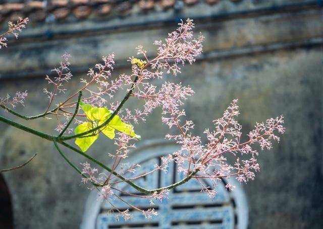 Hoa ngô đồng đẹp ngỡ ngàng trong Đại Nội Huế - 2