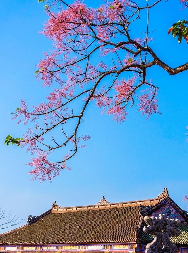 Hoa ngô đồng đẹp ngỡ ngàng trong Đại Nội Huế - 4