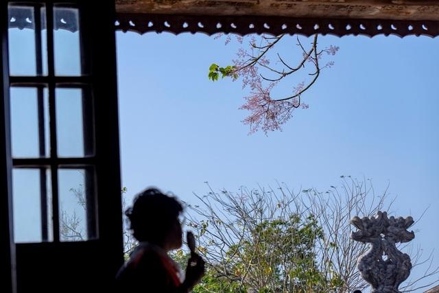 Hoa ngô đồng đẹp ngỡ ngàng trong Đại Nội Huế - 8