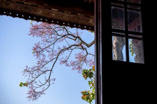Hoa ngô đồng đẹp ngỡ ngàng trong Đại Nội Huế - 9