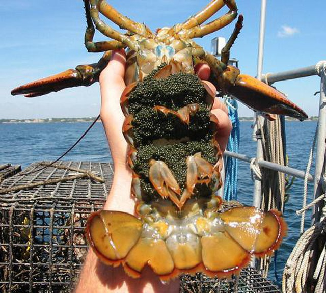 American lobsters fly half way around the world to Vietnam and are sold cheaply as chickens and ducks - 2