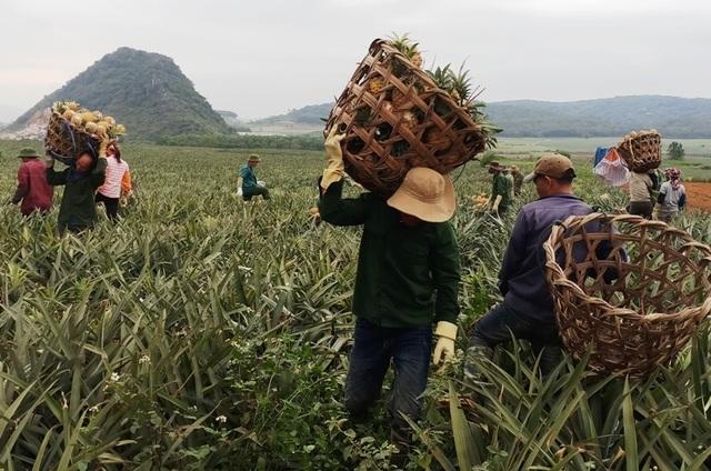 Thanh Hoá: Dứa chỉ 2.000-3.000 đồng/kg, nông dân đang ngồi trên đống lửa - 4