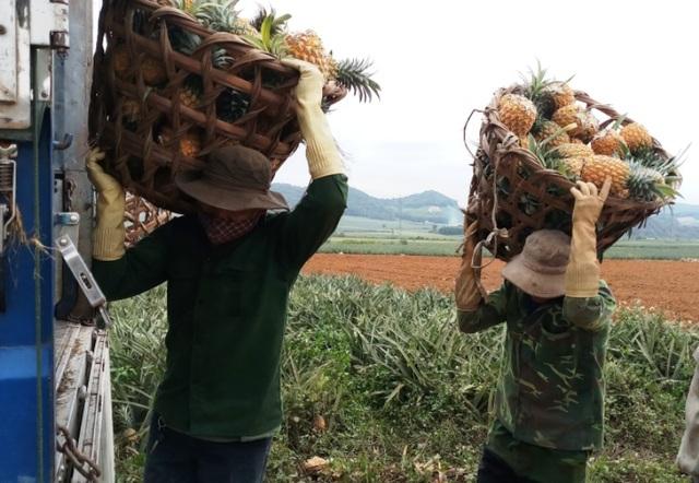 Thanh Hoá: Dứa chỉ 2.000-3.000 đồng/kg, nông dân đang ngồi trên đống lửa - 2