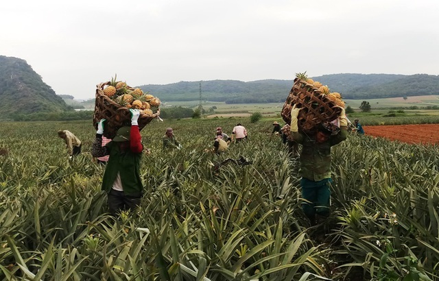 Thanh Hoá: Dứa chỉ 2.000-3.000 đồng/kg, nông dân đang ngồi trên đống lửa - 3