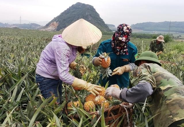 Thanh Hoá: Dứa chỉ 2.000-3.000 đồng/kg, nông dân đang ngồi trên đống lửa - 1