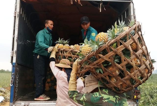 Thanh Hoá: Dứa chỉ 2.000-3.000 đồng/kg, nông dân đang ngồi trên đống lửa - 5