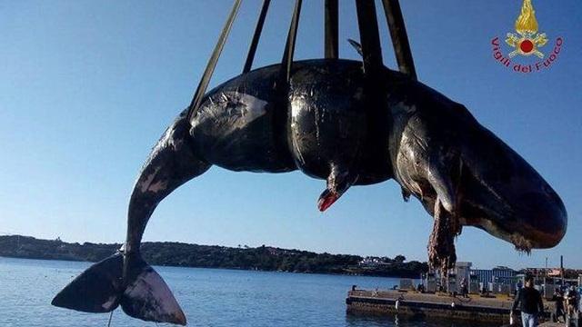 Cá nhà táng mang thai được phát hiện đã chết với gần 23 kg nhựa trong dạ dày - 1