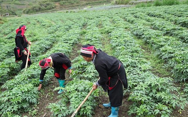 Công ty Akina Đông Á đầu tư phát triển cây Đương quy Nhật Bản chất lượng cao tại Việt Nam - 2