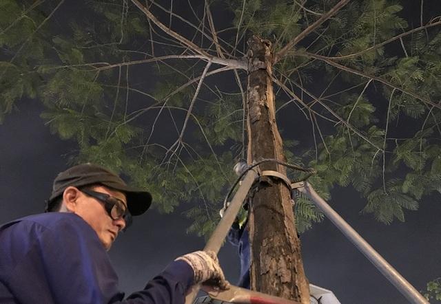 Hà Nội bất ngờ nhổ bỏ hàng trăm cây phượng trong đêm - 2