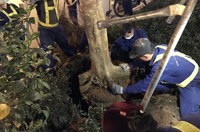 Hà Nội bất ngờ nhổ bỏ hàng trăm cây phượng trong đêm - 10
